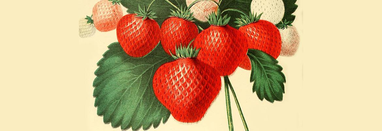 rysunek przedstawia truskawki na krzaku